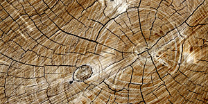 Cut Log with Tree Rings Background